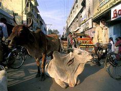 коровы на дороге - Поиск в Google
