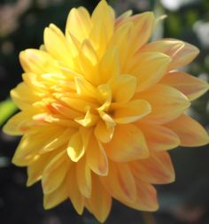 Candlelight  Dahlia Tuber by DavesDahlias on Etsy