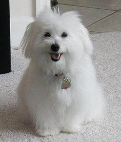 """A Coton de Tulear puppy named Hershey (a.k.a. """"booboo"""")"""