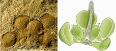 World's Earliest Flower may Date back 162 million Years | Geology Page