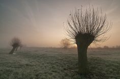 Pollard willows by Pascale schotte on Gods Grace, Fruit Trees, Wabi Sabi, Somerset, Horticulture, Mists, Art Photography, Scenery, Awesome