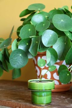 How to Grow a Peperomia Plant - Care Tips Outdoor Plants, Air Plants, Garden Plants, Peperomia Plant, Chinese Money Plant, Cactus Y Suculentas, Plant Decor, Indoor Garden, Garden Inspiration