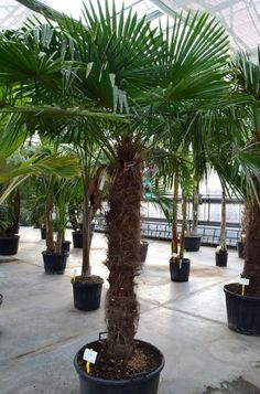 trachycarpus fortunei hanfpalme 80 100cm winterhart 18 c in garten terrasse pflanzen. Black Bedroom Furniture Sets. Home Design Ideas