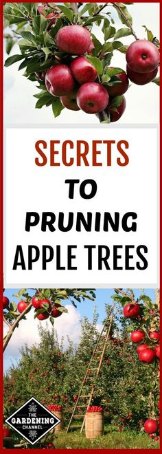 what you need to know to prune apple trees #fruitgarden