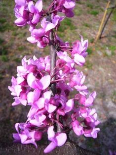 Redbud tree - Cercis canadensis.  Spring flowers are edible.  Page includes a redbud muffin recipe!