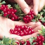Red Pearl lingonberry  Heavily productive, easy to grow! Selected from the wild in Holland for its tasty fruit, vigorous growth and brilli...