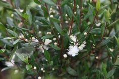 Myrtus communis. 3 m x 3m. Full sun. Fertile, moist well drained soil. Flowers July-August. Glossy, evergreen, pointed leaves.