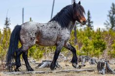 ❤️Looks like an Oreo cookie! Most Beautiful Horses, Majestic Horse, Appaloosa Horses, Wild Mustangs, Cute Horses, Clydesdale, Draft Horses, Horse Pictures, Wild Horses