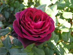 Rambling/shrub rose Black Caviar
