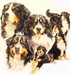 Bernese Mountain Dog Drawing by Barbara Keith