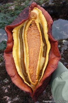 drhoz:zacharge:Gumboot Chiton (Cryptochiton stelleri)- San Mateo County, CAAlso known as the Western Giant Fiery Chiton, C. stelleri is the largest of all the chitons.The underside of a giant Chiton, showing the muscular foot and gills