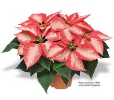 http://www.northwestgardenplants.com/image-files/poinsettia-premium-ice-crystals.jpg