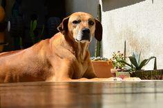 Esta es mi mascota Maizena una hermosa Rodhesian Ridgeback