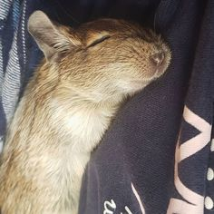 Funny Animal Videos, Funny Animals, Cute Animals, Degu, Cute Toddlers, Rodents, Squirrels, Rats, Horses