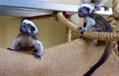 Drayton Manor Zoo in Staffordshire welcomed the arrival of spring with the birth of two critically endangered cotton-top tamarins. Kit and Leo were born last month to proud first time parents Ellie and Bernie and weigh in at just 40-45g, which is roughly the third of the weight of a hamster! Twins are very common …