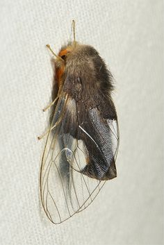 Male Clearwing Tussock Moth (Perina nuda, Lymantriinae) by itchydogimages, via Flickr