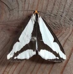 Moths | Common Local Tiger Moths: Subfamily Arctiinae… | dakotanaturalist
