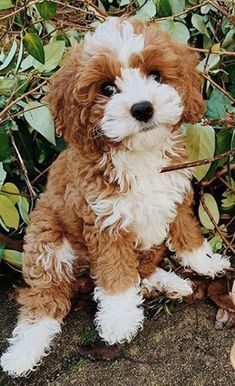 Very Cute Dogs, Really Cute Puppies, Cute Baby Dogs, Cute Little Puppies, Cute Funny Dogs, Cute Cats And Dogs, Cute Dogs And Puppies, Funny Pets, Poodle Mix Breeds