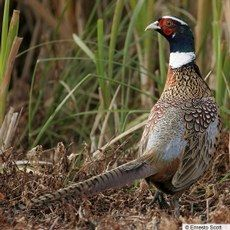 Ring-necked Pheasant-I remember seeing these on almost a daily basis growing up