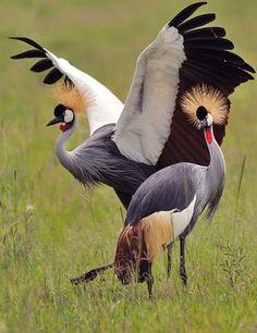 Crowned Crane ホオジロカンムリヅル