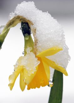 Spring daffodil after snow 3   Flickr - Photo Sharing!❤️