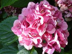 Nursery School: To Prune or Not to Prune Your Hydrangeas