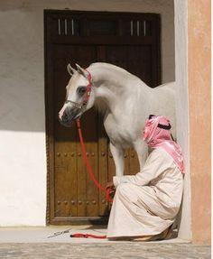 * خليجية *: ARABIAN HORSES