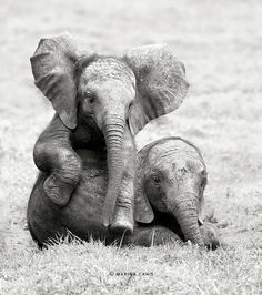baby elephants at play..