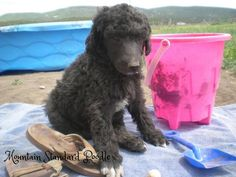 Lucky, a standard poodle, at 5 weeks old.