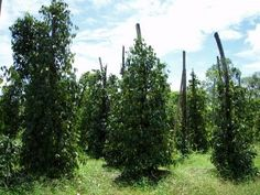 For sale: Pepper Plantation in Kampot, Cambodia