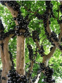 """botanical-photography: """" Jabuticaba -a Tree that produce Fruits on its Trunk. (610px820px) Article in Comments Source: https://imgur.com/9Ea9pZF """""""