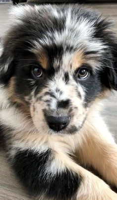I need this Australian Shepherd 😍😍😍 it's like me (im an Australian Shepherd) Cute Baby Dogs, Cute Dogs And Puppies, Pet Dogs, Pets, Doggies, Dogs Pitbull, Adorable Dogs, Weiner Dogs, Cute Little Animals
