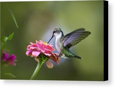Hummingbird Canvas Print featuring the photograph Tranquil Joy by Christina Rollo