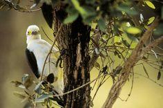 Pica-pau-branco (Melanerpes candidus) Aves do Brasil by Araquém Alcântara