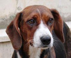 Deutsche Bracke, German Hound Dog Dandie Dinmont Terrier, Doberman Pinscher, Hound Dog, Girls Best Friend, Dog Love, Hunting, Puppies, Dogs, Animals
