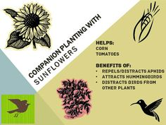 Outdoor and Gardening with Red Hill: Companion Planting with Sunflowers