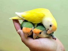 Parrotlets http://www.vetfield.com