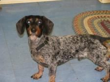 Gunner is an adoptable Dachshund Dog in Bainbridge, GA. DO YOU KNOW ME