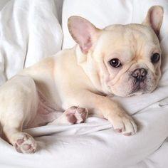 Cream French Bulldog Puppy, too cute.