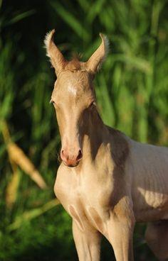 Champagne Marwari foal! I'm dying of the cuteness! I love his earsies ;)