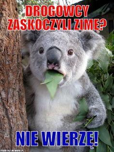 Koala jest zdziwiony