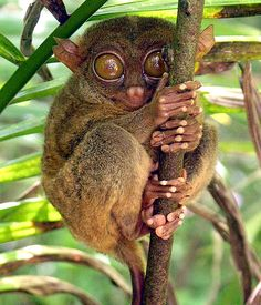 The Philippine Tarsier i want to see this little guy!