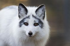"""The beautiful """"arctic marble"""" fox is an animal that is bred and sold solely for profit. This """"man-made"""" coloration does not normally occur in the wild, and is a product of human intervention. Keep 'em wild; don't buy pet foxes!"""
