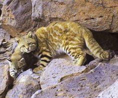Leopardus Braccatus - Google Search