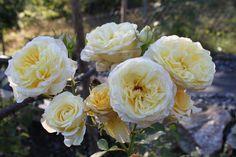 Stockholm Stockholm, Rose, Flowers, Plants, Pictures, Pink, Plant, Roses, Royal Icing Flowers