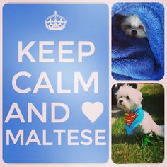 Maltese are the best dogs