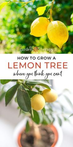 If you have ever wondered how to grow a lemon tree in cold climates, you need Steven Bigg's new book. Here are some amazing tips all about growing lemons! #gardentherapy #lemons #lemontree #growingfood #ediblegardening