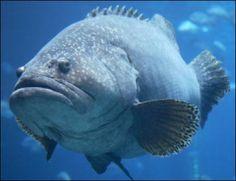 giant grouper fish photo