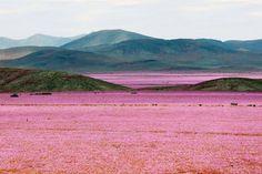Desierto Florido Atacama 2015 Foto Mario Ruiz (EFE)