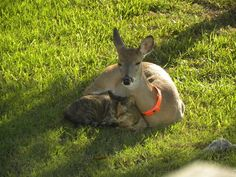 Pets Photo Contest image: Pet Photo Contest Winner: DeeDee (the doe fawn) was enjoying the weather, when she was joined by Sidney (the cat). They napped together for quite a while. Share your pet photos. Enter our Pet Photo Contest!  ecard photos